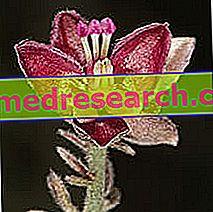 Bitkisel Tıptaki Ratanya: Ratania'nın Mülkiyeti