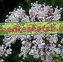 Valeriana i Herbalist: Ejendom Valeriana