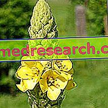 Mullein a gyógynövénygyógyászatban: Mullein tulajdonsága