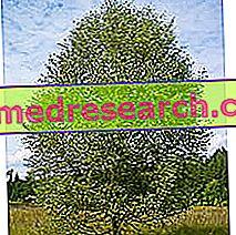 Brzoza w ziołolecznictwie: właściwości brzozy