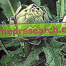 Artichoke in Herbalist: Lastnost Artičoke