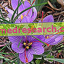 Saffron i urte medisin: Eiendom av Saffron