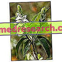 Adatoda στο Herbalist: Ιδιοκτησία του Adatoda