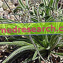 Ispagula di Herbalist: Properti Ispagula