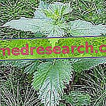 La ortiga en el herbolario: propiedad de la ortiga