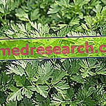 Persilja i Herbalist: Egenskap av Persilja