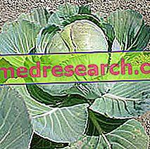 Kubis dalam Perubatan Herba: Harta Kubis