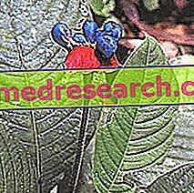 Ipecacuana Herbalist: Ipecacuana īpašums