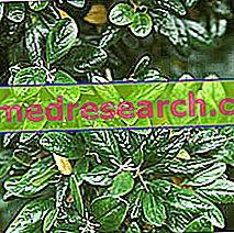 Boldo Herbalistā: Boldo īpašums