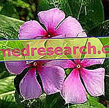 Vinca Herbalistā: Vincas īpašums