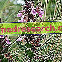 Herbalist's Camedrio: Camedrio īpašums