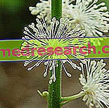 Cimicifuga di Herbalist: Properti Cimicifuga