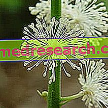 Cimicifuga in Herbalist: Власність Cimicifuga