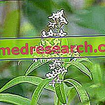 Lippia Herbalist: Lippia īpašums