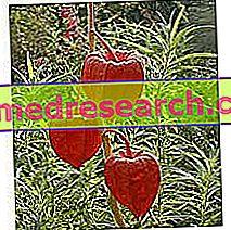 Alkekengi in Herbalist: Vlasništvo Alkekengija