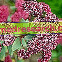 Sedum i Herbalist: Eiendom av Sedum