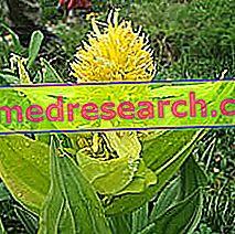 Gentian Herbalist: Gentian īpašums