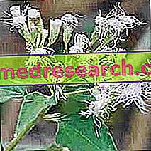 Crisantemo Americano en Medicina Herbal: Propiedades del Chrysantello Americano