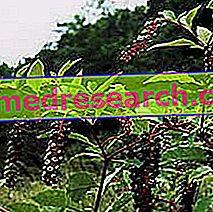 Phytolacca в Erboristeria: Свойства на Fitolacca