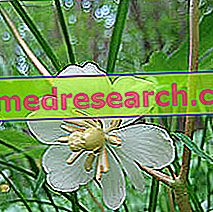 Podophyll v bylinkáři: Vlastnosti Podophyll
