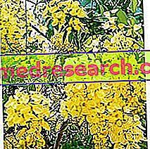 Cassia a gyógynövényben: a Cassia tulajdonosa