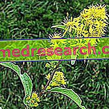 Solidago u herbalistu: Svojstva Solidaga