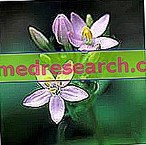 أقل Centaurea في طب الأعشاب: عقار من Centaurea الصغرى