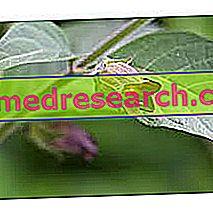 Η Belladonna στην Herbalist: Ιδιοκτησία της Belladonna
