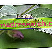 Belladonna dalam Herbalist: Properti Belladonna