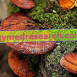 Ganoderma Lucidum i Herbalist: Egenskaber af Ganoderma Lucidum