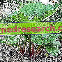 Рхубарб ин Хербал Медицине: својства рабарбаре