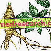 Eleutherococcus in der Kräutermedizin: Eigenschaften des Eleuterococcus