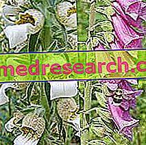 Digitalni u herbalistu: Digitalna svojstva