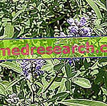 Agnocasto Erboristerijoje: Agnocasto savybės