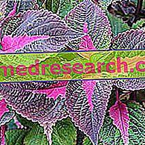Perilla Herbalist: Perilla vara