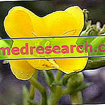 Evening Primrose in Herbalist: Property of the Enotera
