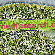 Chlorella in Herbal Medicine: Eigenschappen van Chlorella-zeewier
