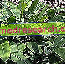 Цикория в ербористерия: свойства на цикория