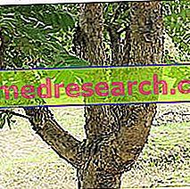 Boswellia ravimtaimedes: Boswellia omadused