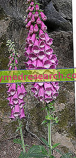 Digital - Digitalis Purpurea