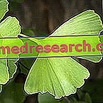 Ginkgo Biloba in der Kräutermedizin: Eigenschaften von Ginkgo Biloba