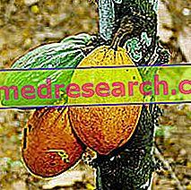 الكاكاو في طب الأعشاب: خصائص الكاكاو