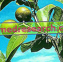 Изгубена коприва в билковата медицина: свойства на копривата вомица