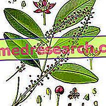 Jaborandi a gyógynövényben: Jaborandi tulajdon