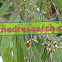 Eucalyptus in kruidengeneeskunde: eucalyptus eigenschappen
