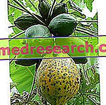 La papaya en la medicina herbaria: propiedad de la papaya