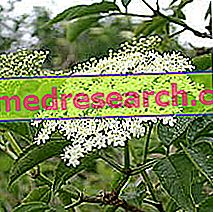 Elderberry in Herbalist: Property of the Elderberry