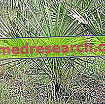 Serenoa Repens في طب الأعشاب: ممتلكات Serenoa Repens