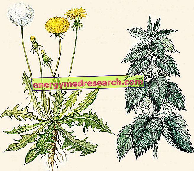 Nettle: kasvitiede ja taksonomia