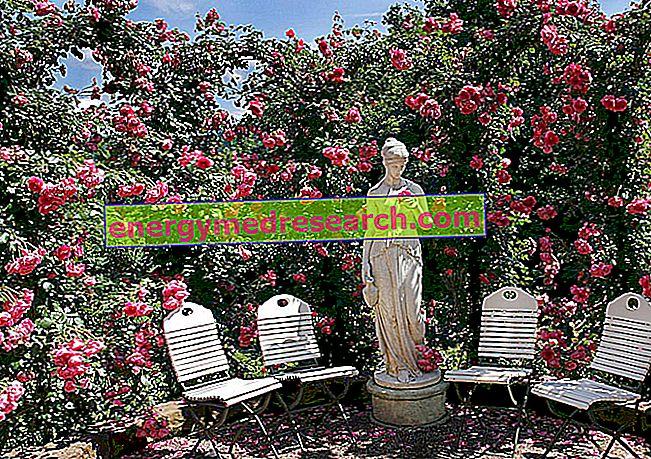 Rózsa görög-római mitológiában